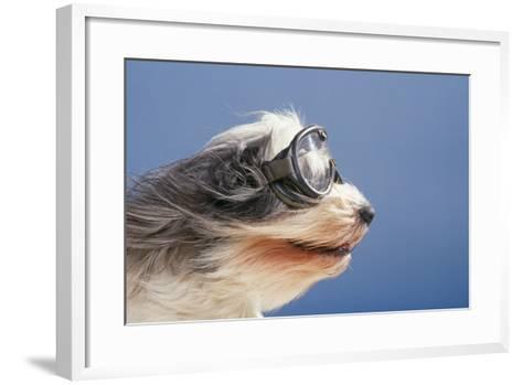 Polish Lowland SheepWearing Goggles in Wind--Framed Art Print