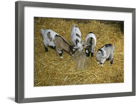 Pygmy Goat Kids Investigating a Polythene Bag--Framed Art Print