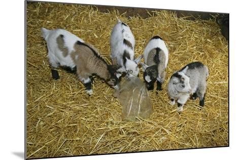 Pygmy Goat Kids Investigating a Polythene Bag--Mounted Photographic Print