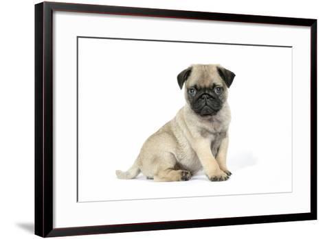 Pug (Fawn) 7 Week Old Puppy--Framed Art Print