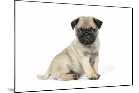 Pug (Fawn) 7 Week Old Puppy--Mounted Photographic Print