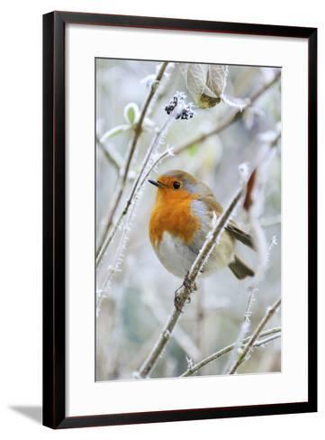 Bird Robin in Frosty Setting--Framed Art Print