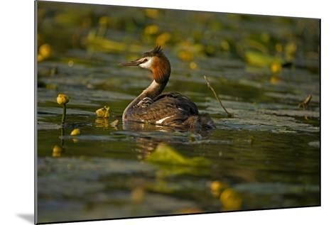Great Crested Grebe Adult Carrying Young on Back--Mounted Photographic Print