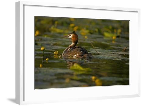 Great Crested Grebe Adult Carrying Young on Back--Framed Art Print