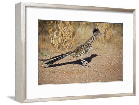 Greater Roadrunner--Framed Art Print