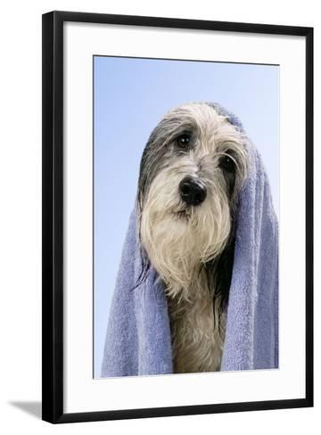 Wet Dog with Towel, Close-Up of Head--Framed Art Print