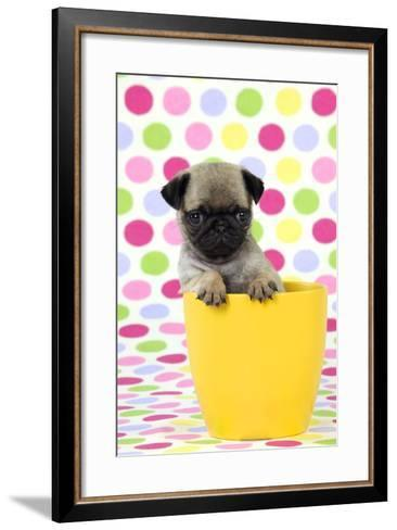 Pug Puppy (6 Wks Old) in a Yellow Pot--Framed Art Print