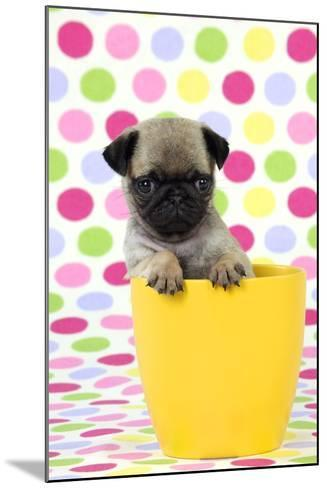 Pug Puppy (6 Wks Old) in a Yellow Pot--Mounted Photographic Print