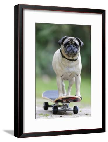 Pug on Skateboard--Framed Art Print