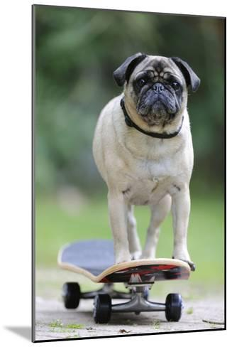 Pug on Skateboard--Mounted Photographic Print