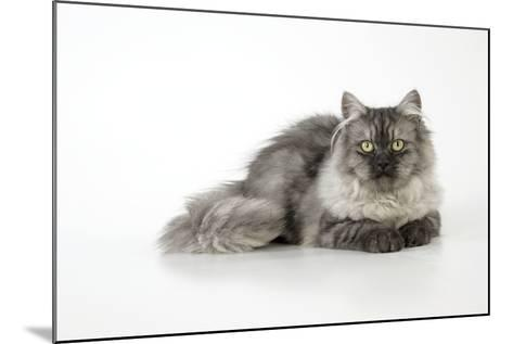 Chincilla X Persian Dark Silver Smoke Cat--Mounted Photographic Print