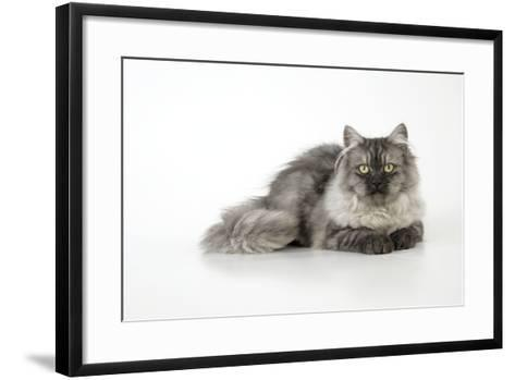 Chincilla X Persian Dark Silver Smoke Cat--Framed Art Print