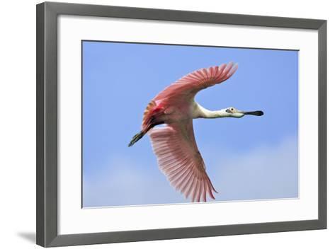 Roseate Spoonbill in Flight--Framed Art Print