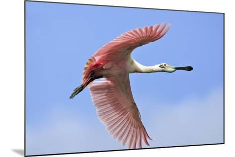 Roseate Spoonbill in Flight--Mounted Photographic Print