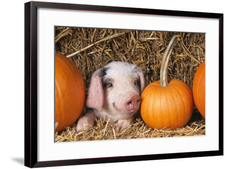 Pig Gloucester Old Spot Piglet with Pumpkins--Framed Art Print