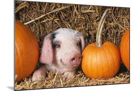 Pig Gloucester Old Spot Piglet with Pumpkins--Mounted Photographic Print