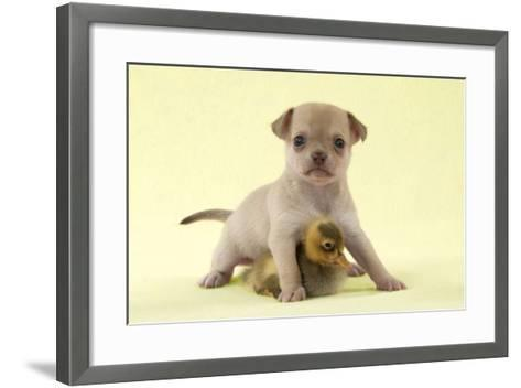 Chihuahua Puppy Standing with Duckling (6 Weeks)--Framed Art Print