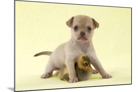 Chihuahua Puppy Standing with Duckling (6 Weeks)--Mounted Photographic Print