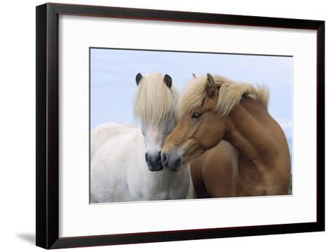 Icelandic Horse Two Smelling Each Other in Communication--Framed Art Print