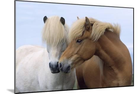 Icelandic Horse Two Smelling Each Other in Communication--Mounted Photographic Print