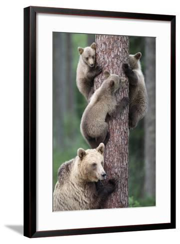 Brown Bear Young Bears Clinging on to Tree--Framed Art Print