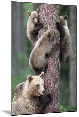 Brown Bear Young Bears Clinging on to Tree--Mounted Photographic Print