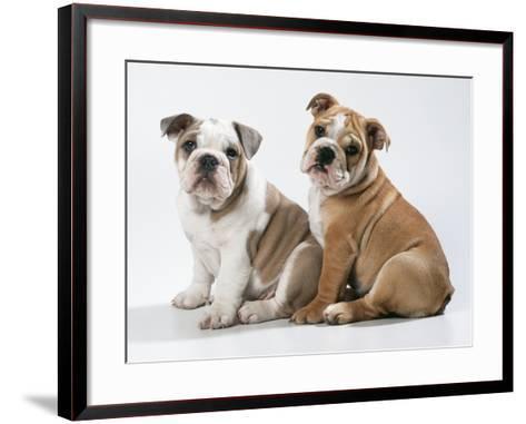Two BullPuppies, Sitting, Studio Shot--Framed Art Print