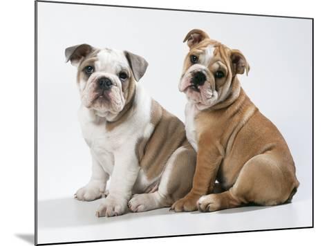 Two BullPuppies, Sitting, Studio Shot--Mounted Photographic Print