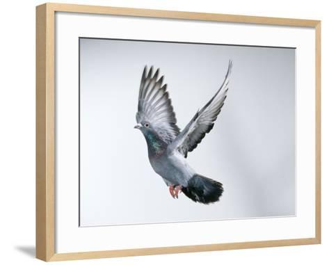 Homing Pigeon in Flight--Framed Art Print