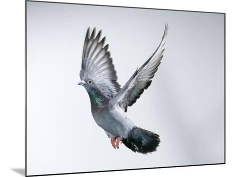 Homing Pigeon in Flight--Mounted Photographic Print