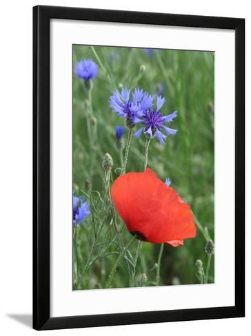 Red Poppy and Cornflowers--Framed Art Print