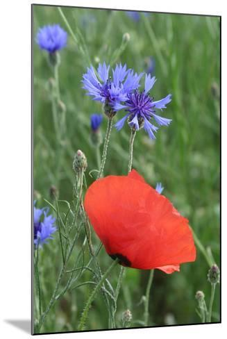 Red Poppy and Cornflowers--Mounted Photographic Print