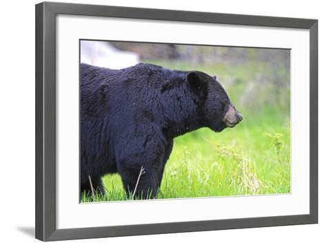 Black Bear Adult Male--Framed Art Print