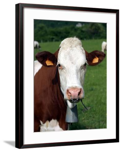 Pie Rouge Cow Close-Up of Head with Tagged Ears--Framed Art Print