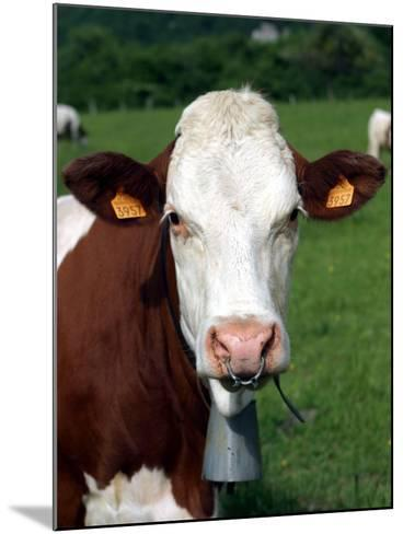 Pie Rouge Cow Close-Up of Head with Tagged Ears--Mounted Photographic Print