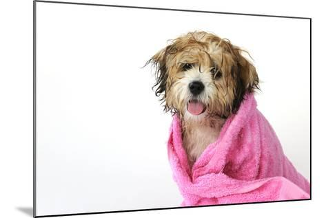 Teddy Bear Dog (Wet) Wrapped in a Towel--Mounted Photographic Print