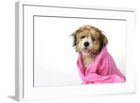 Teddy Bear Dog (Wet) Wrapped in a Towel--Framed Art Print