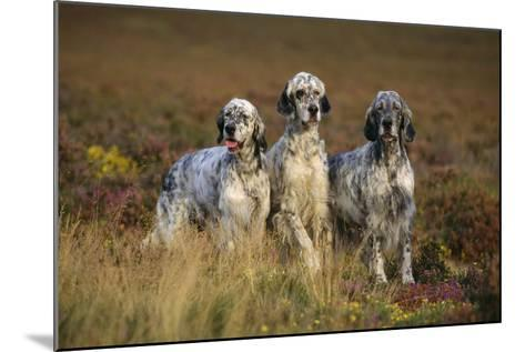 English Setter Dogs Three in Row--Mounted Photographic Print