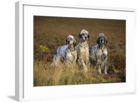 English Setter Dogs Three in Row--Framed Art Print