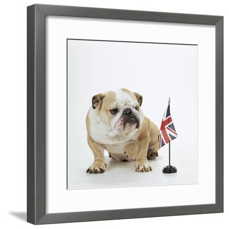 Bulldog with British Union Jack Flag Photographic Print by | Art.com