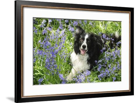 Border Collie Lying in Bluebells--Framed Art Print