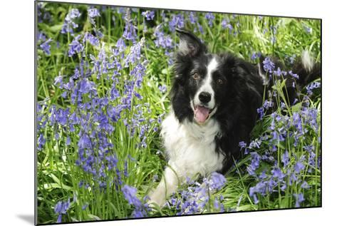 Border Collie Lying in Bluebells--Mounted Photographic Print