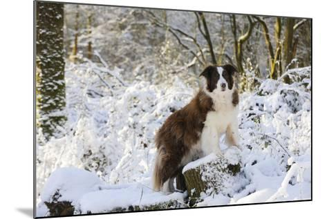 Border Collie Standing on Snow Covered Tree Stump--Mounted Photographic Print