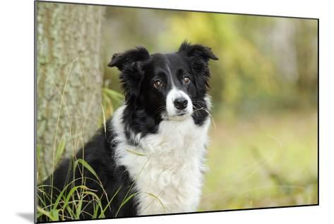 Border Collie in Front of Tree--Mounted Photographic Print