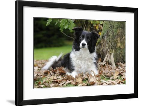 Border Collie in Leaves--Framed Art Print