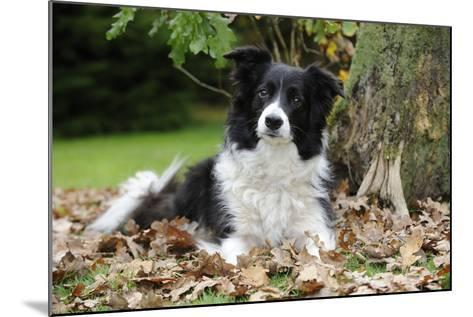 Border Collie in Leaves--Mounted Photographic Print