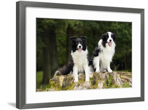 Border Collies Sitting on Tree Stump--Framed Art Print