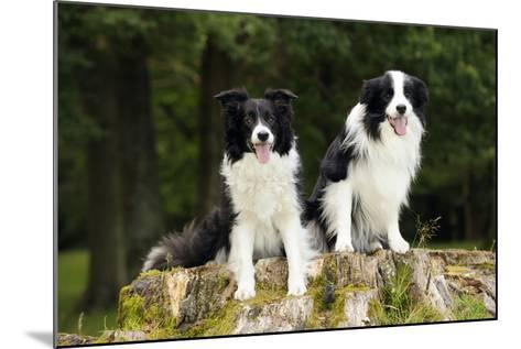 Border Collies Sitting on Tree Stump--Mounted Photographic Print