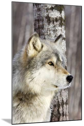 Timber Wolf--Mounted Photographic Print