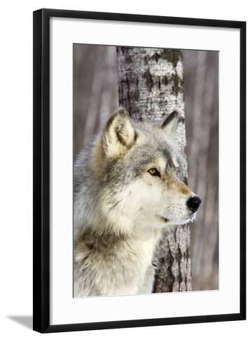 Timber Wolf--Framed Art Print